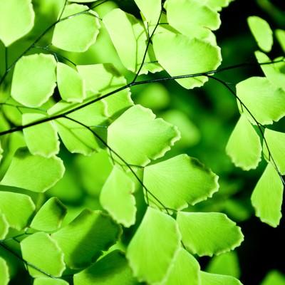 「造り物のような植物(アジアンタム)」の写真素材