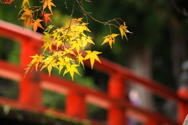 赤い橋と色づく楓の写真