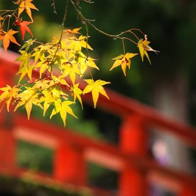 「赤い橋と色づく楓」の写真素材