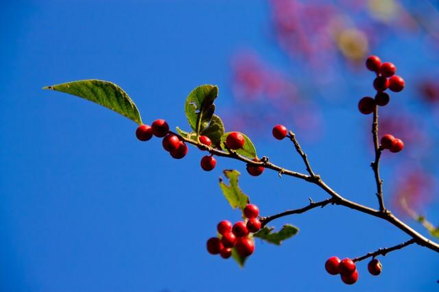 秋の木と赤い実の写真