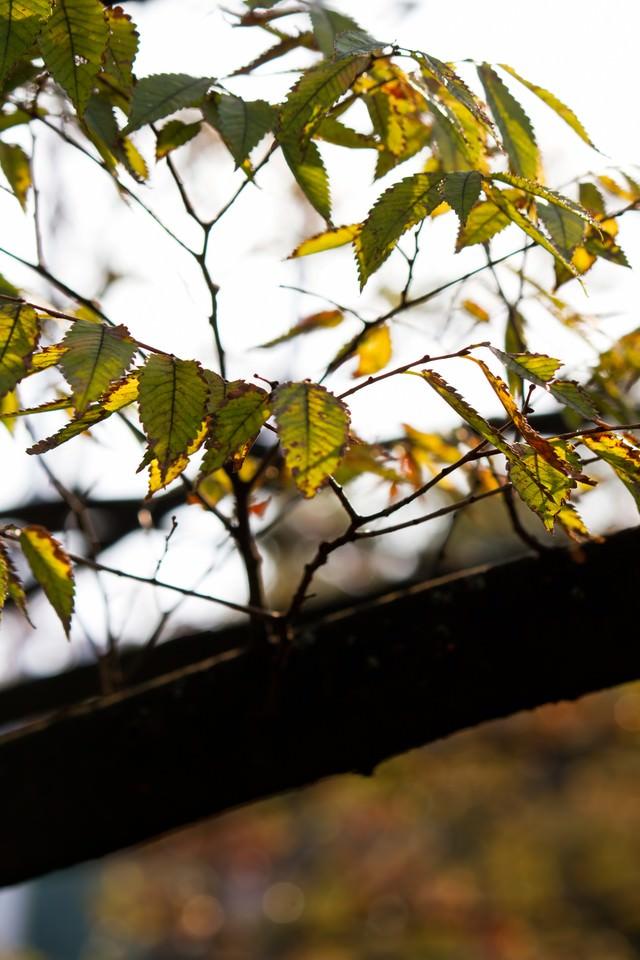 黄葉始めた木の葉の写真