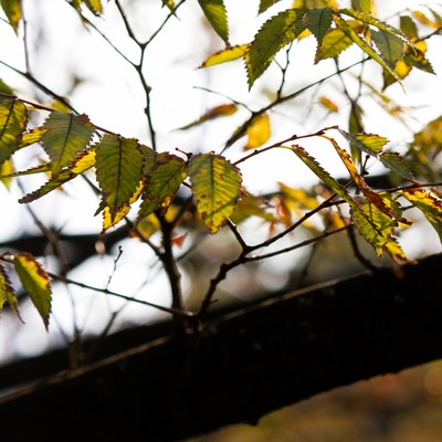 「紅葉始めた木の葉」の写真素材
