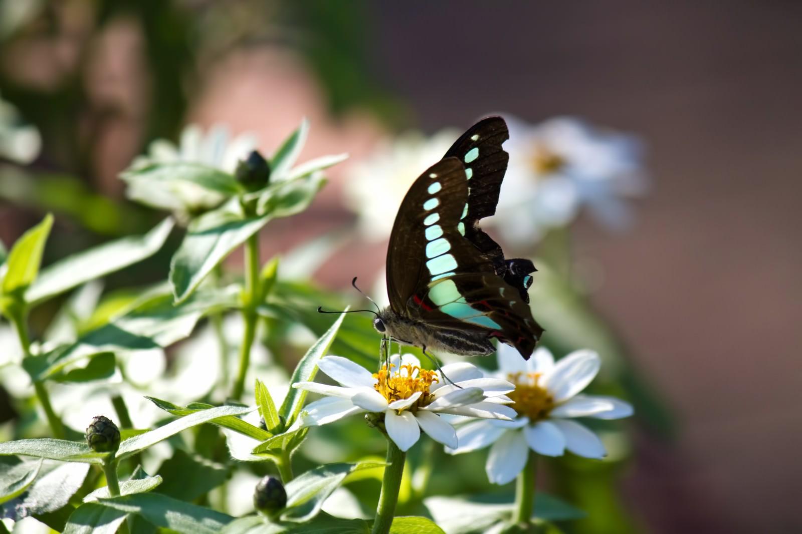 「蜜を吸うアオスジアゲハ」の写真