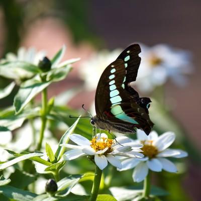 蜜を吸うアオスジアゲハの写真