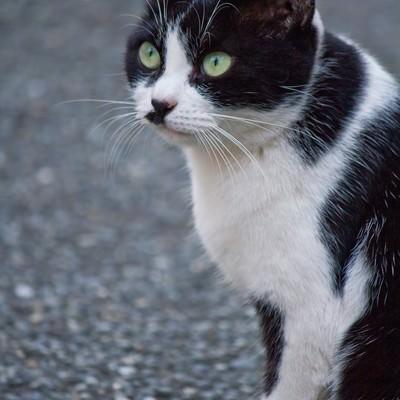 「凝視する猫」の写真素材