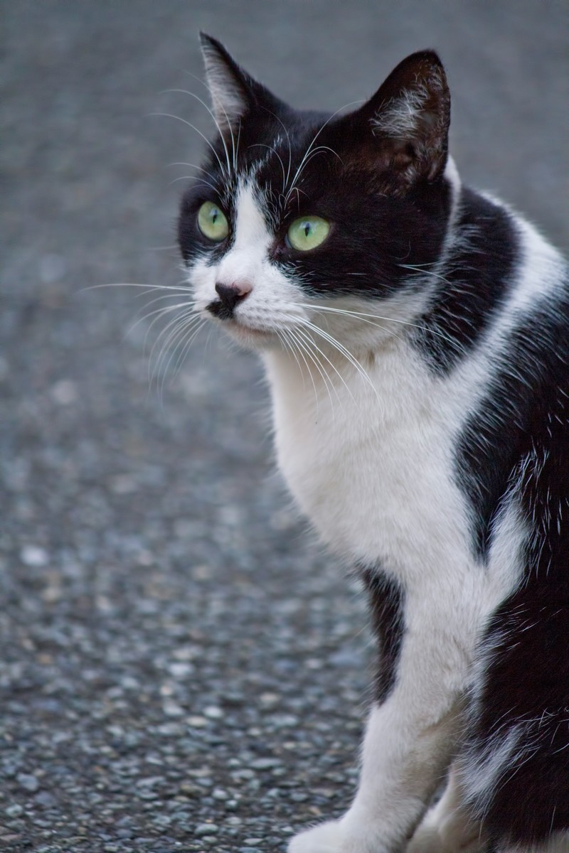 「凝視する猫」の写真