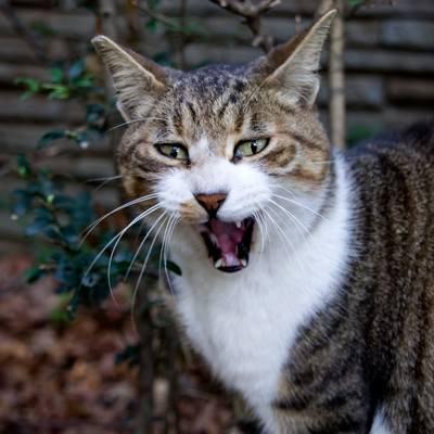 「般若のような表情の猫」の写真素材