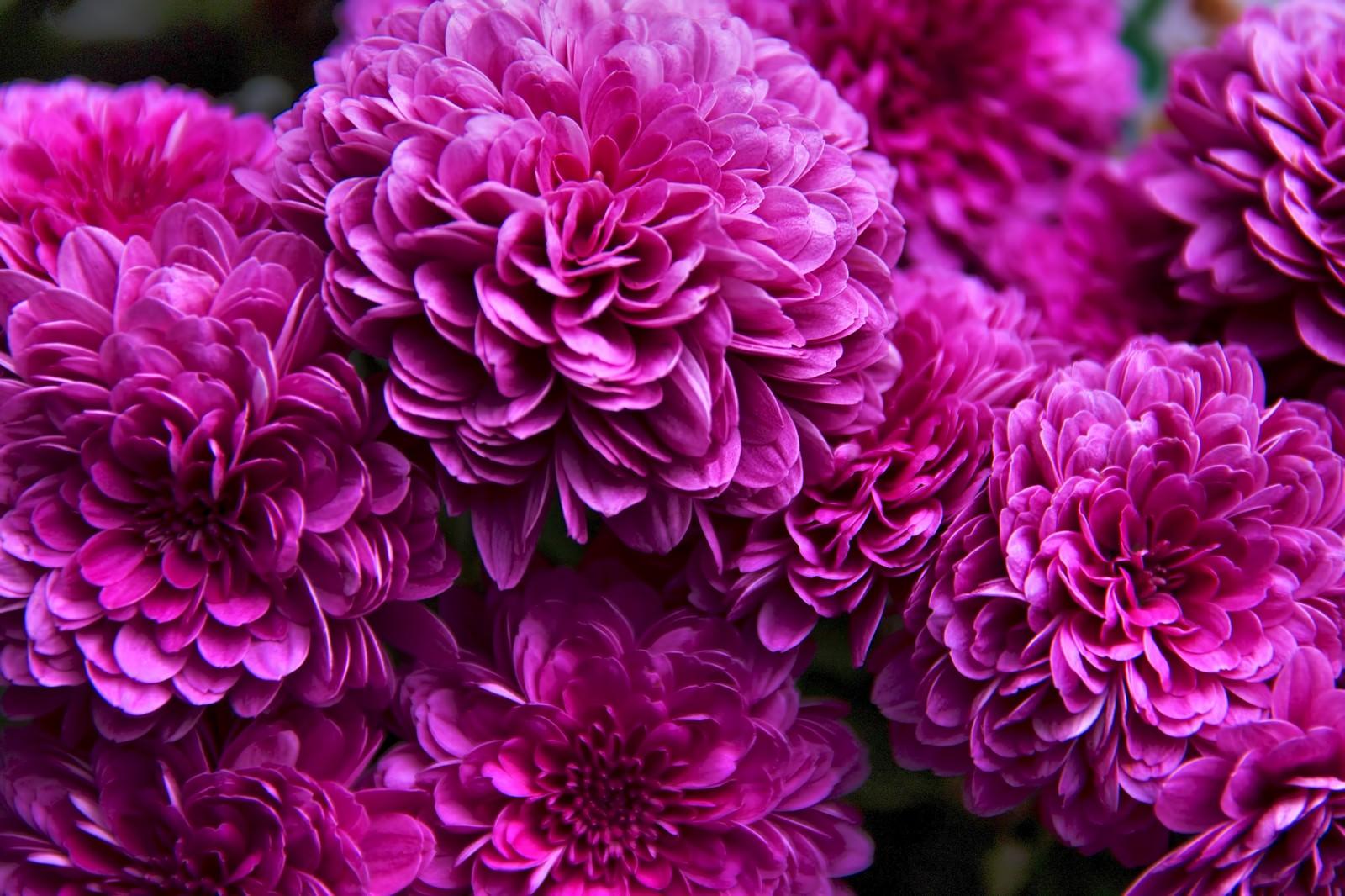 ひしめき咲く紫の花 無料の写真素材はフリー素材のぱくたそ