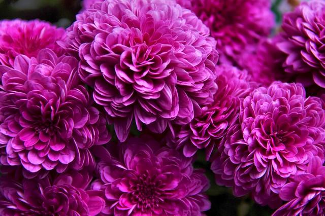 ひしめき咲く紫の花の写真