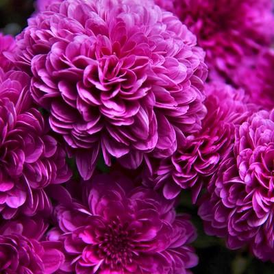 「ひしめき咲く紫の花」の写真素材
