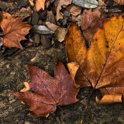 「楓の落ち葉(枯葉)」の写真素材