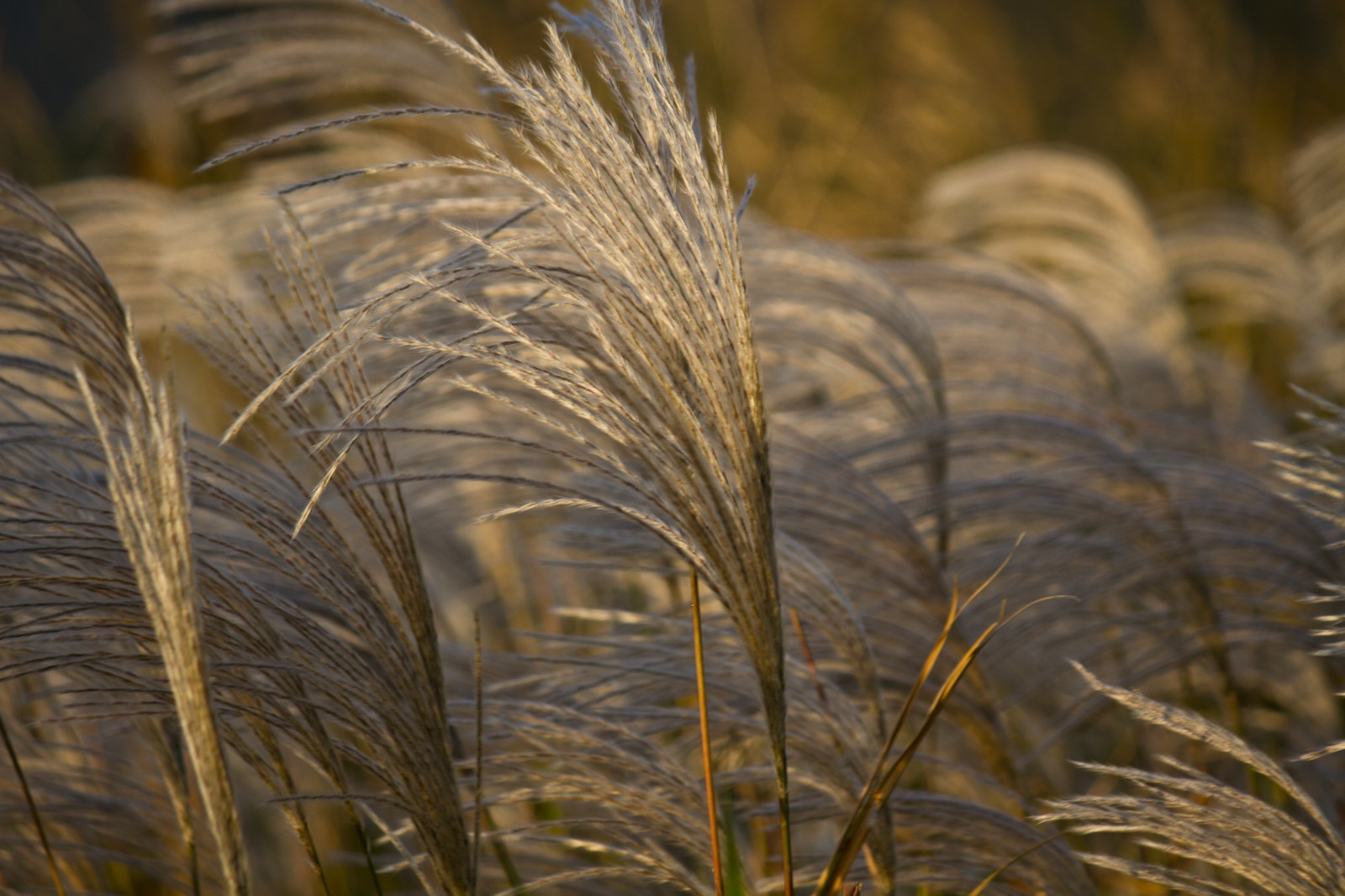 「風にゆられる秋のススキ」の写真