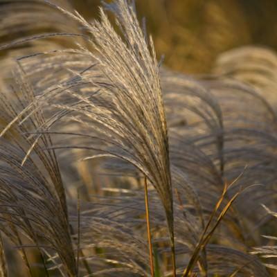 「風にゆられる秋のススキ」の写真素材
