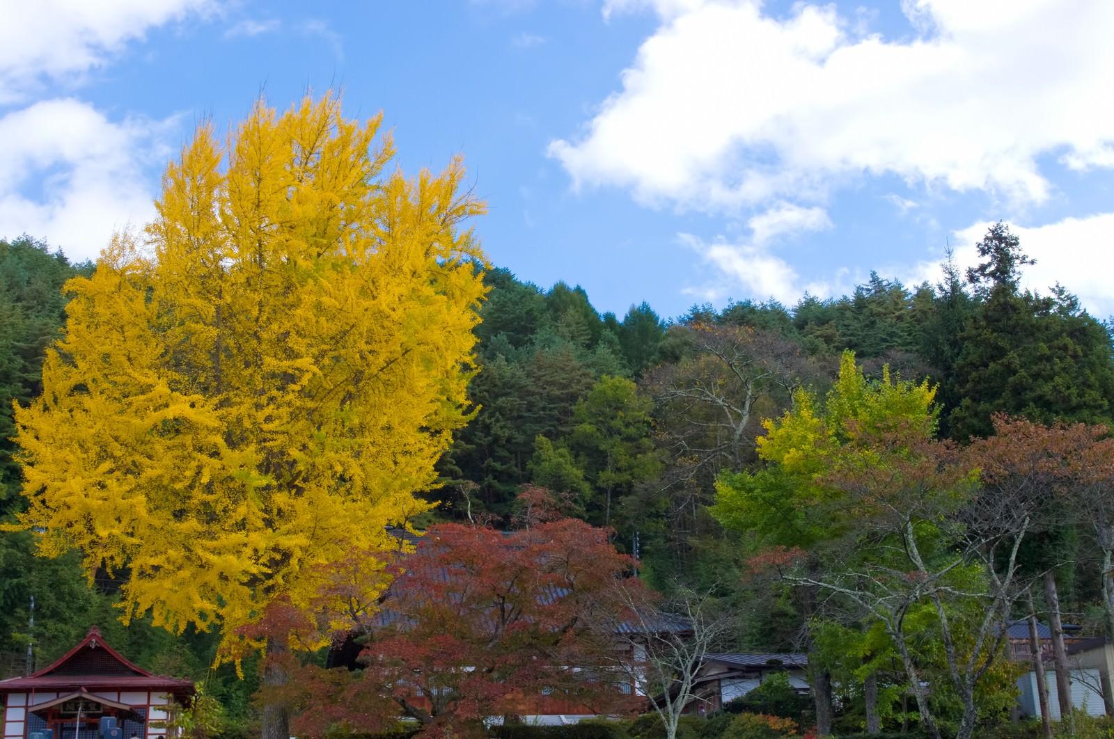 「黄葉する大きなイチョウの木」の写真