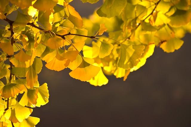 黄葉したイチョウの葉の写真