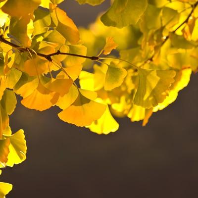 「黄色く紅葉したイチョウの葉」の写真素材