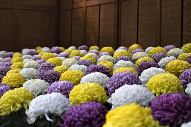色鮮やかな菊花壇の写真