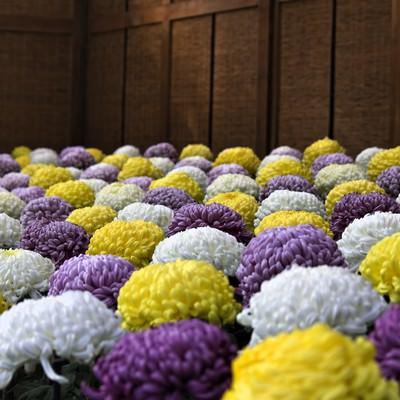 「色鮮やかな菊花壇」の写真素材