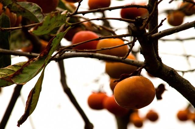 実がなる柿の木の写真