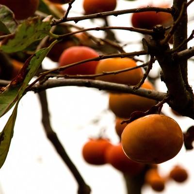 「実がなる柿の木」の写真素材