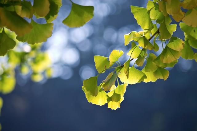 黄色くなりはじめたイチョウの写真