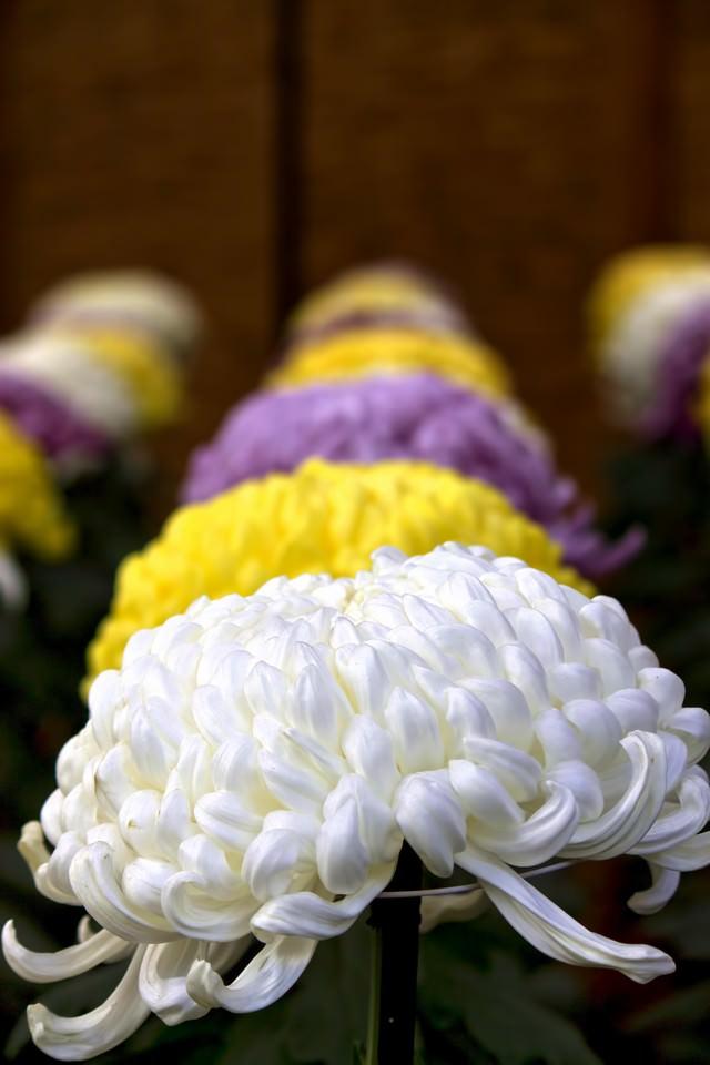 並んで咲く大菊花壇の写真