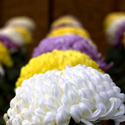 「並んで咲く大菊花壇」の写真素材