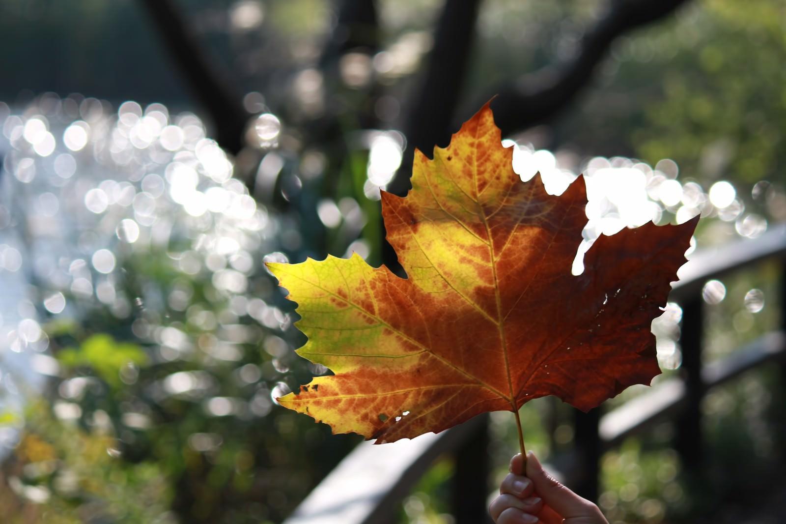 「大きな楓の葉」の写真
