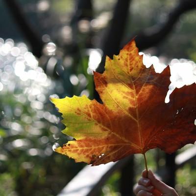 大きな楓の葉の写真