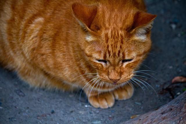 お座りする茶猫の写真