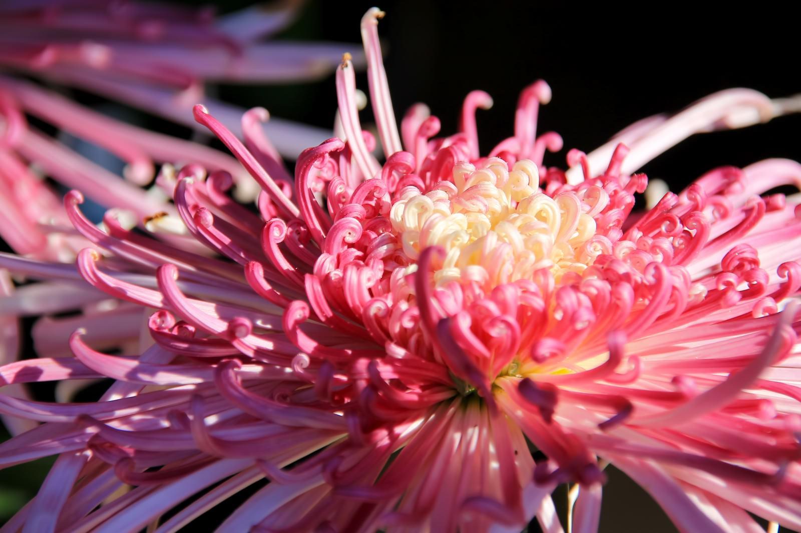 「ピンク色の菊の花」の写真
