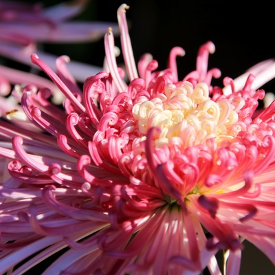 「ピンク色の菊の花」の写真素材