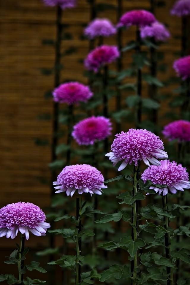 紫色の菊の花の写真