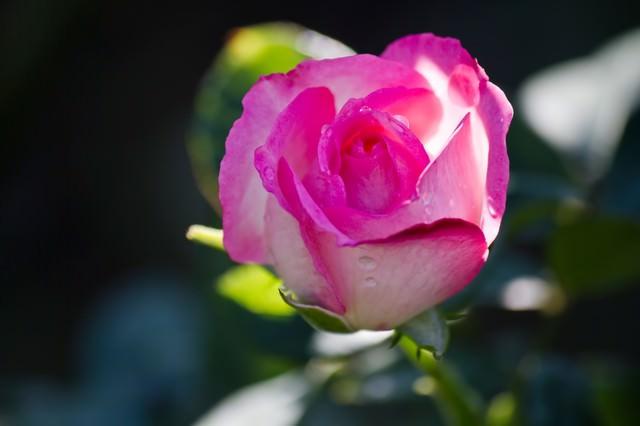 ストロベリーアイス(薔薇)の写真