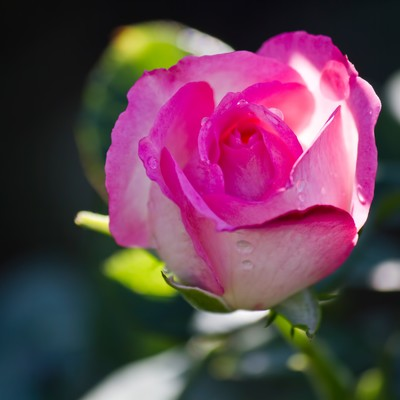 「ストロベリーアイス(薔薇)」の写真素材