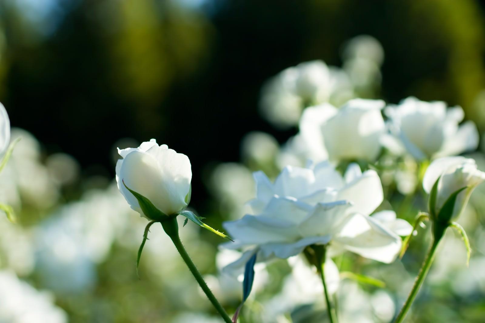「シュネービッチェン(薔薇) | 写真の無料素材・フリー素材 - ぱくたそ」の写真
