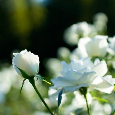 「シュネービッチェン(薔薇)」の写真素材