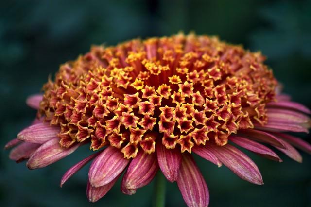 赤い大丁菊の写真