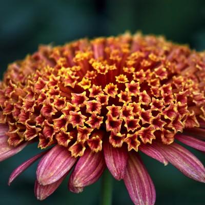 「赤い大丁菊」の写真素材