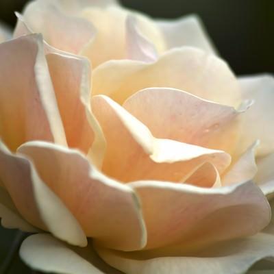 「淡いエーデルワイスの花」の写真素材
