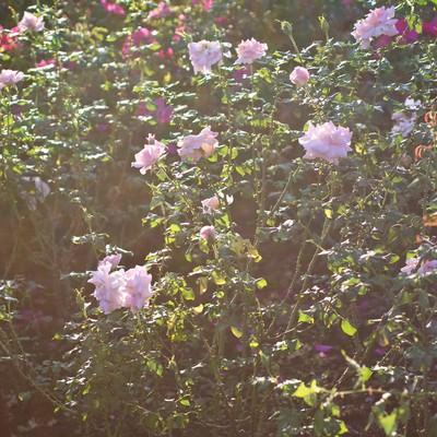 逆光の日差しと薔薇の写真