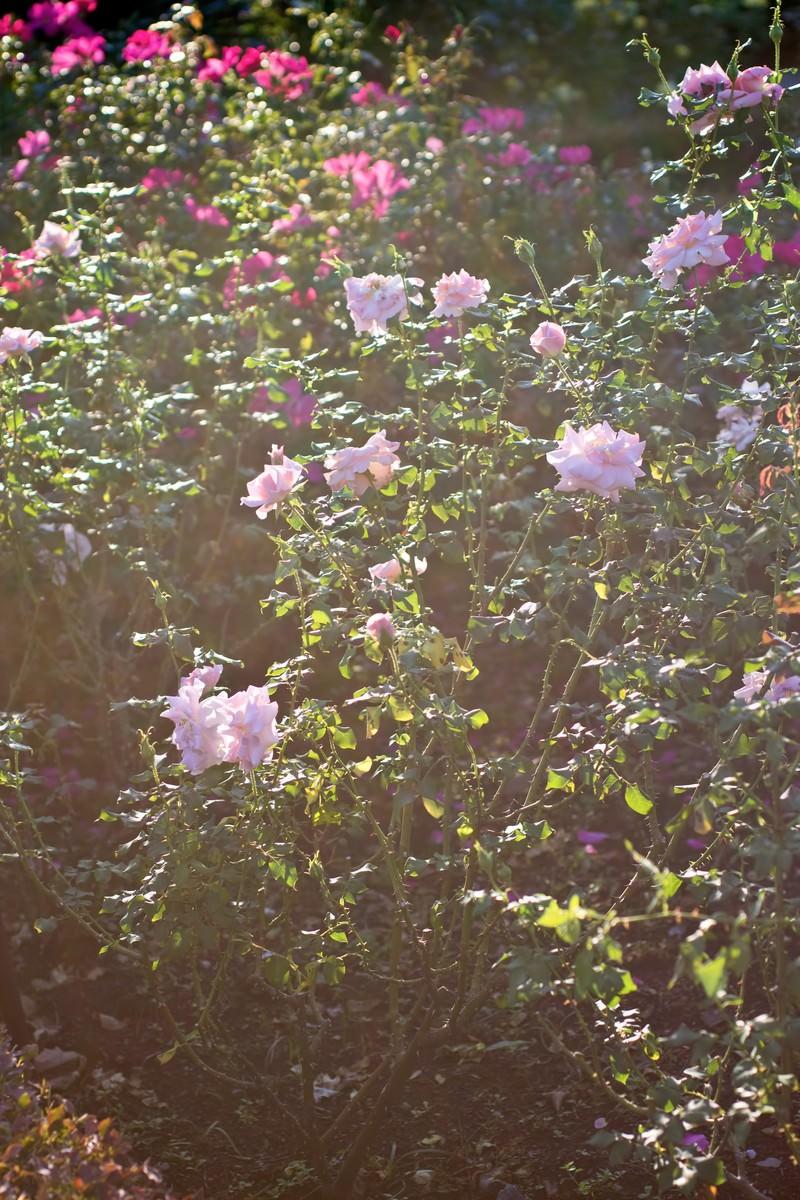 「逆光の日差しと薔薇」の写真