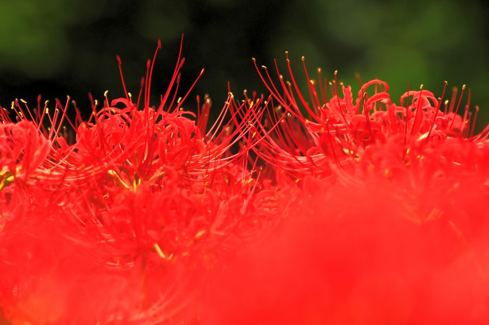 「秋の色(ヒガンバナ)」の写真