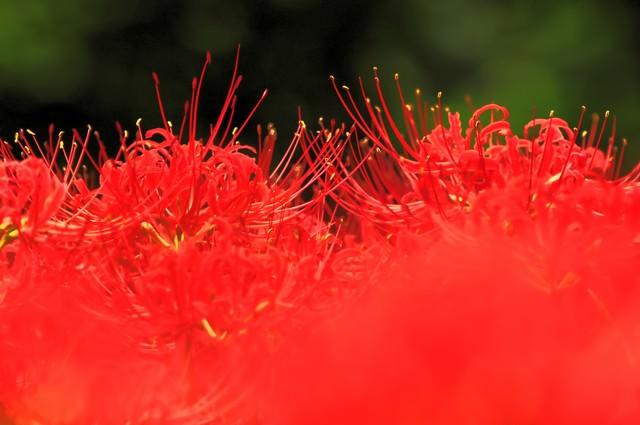 秋の色(ヒガンバナ)の写真