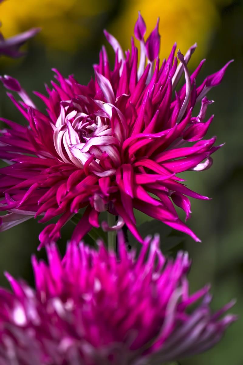 「炎のように咲く江戸菊」の写真