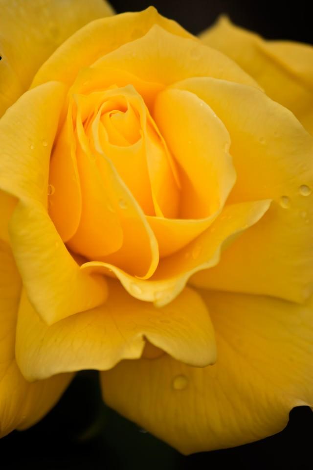 黄色いフリージアの写真
