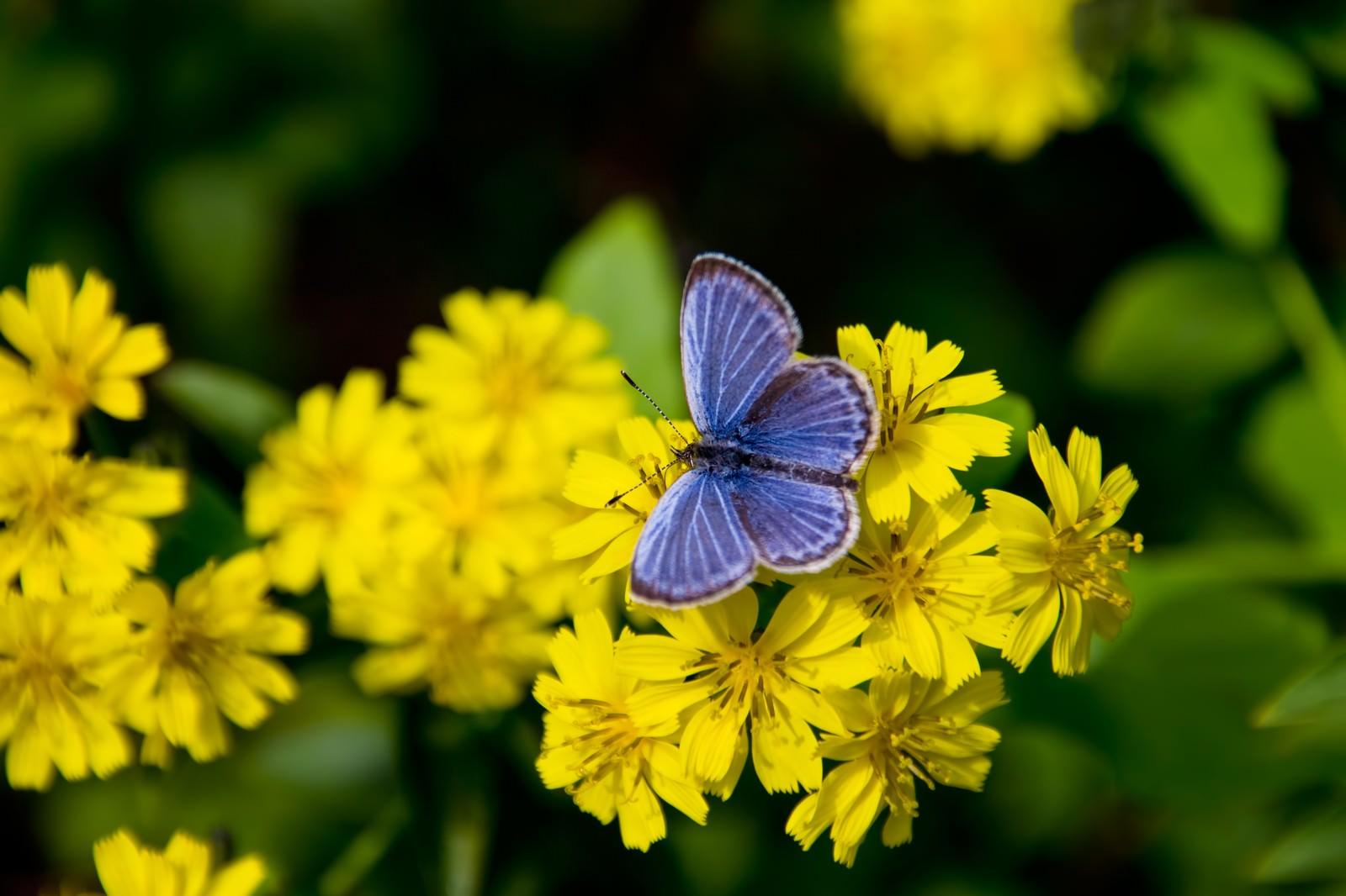 「黄色い花にとまる蝶」の写真