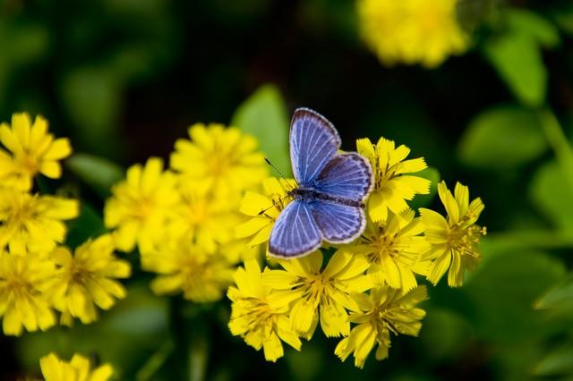 黄色い花にとまる蝶の写真