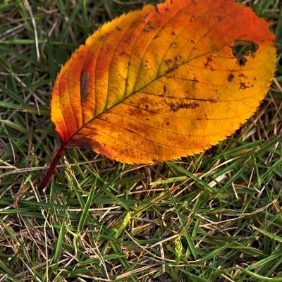 「黄色い落ち葉」の写真素材
