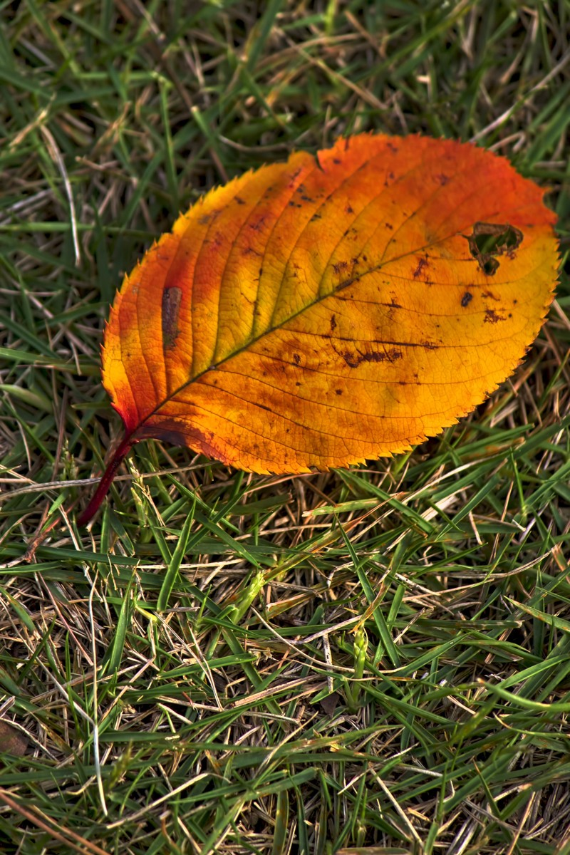 「黄色い落ち葉」の写真